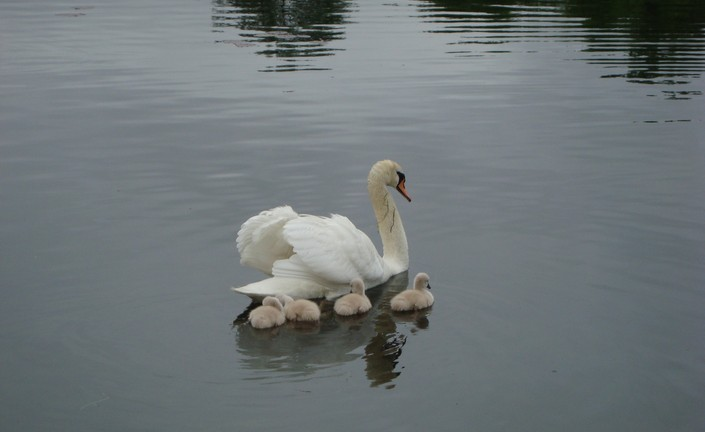 Mother Swan with her Babies