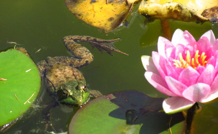 Lake pond animals and plants pictures to pin on pinterest for Plants that live in a pond