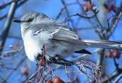 Mockingbird Thrill