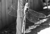 Upclose with a Dragonfly